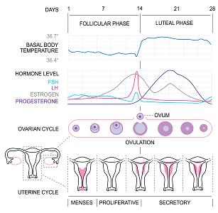 Calcul de la période d'ovulation