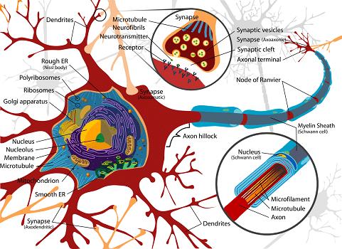 La neuroplasticité pour booster son cerveau